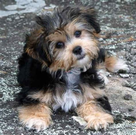puppy haircuts for yorkie maltese mix 20 best yorkie poo haircuts images on pinterest yorkie