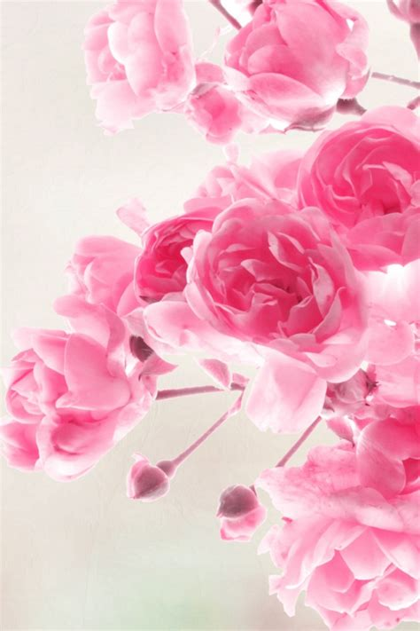 wallpaper for iphone roses pink roses flowers simply beautiful iphone wallpapers