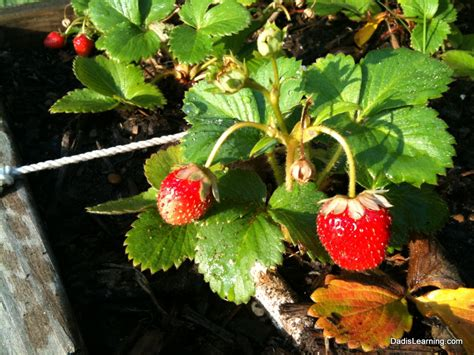 Patio Strawberries by Favorite Things Friday Backyard Gardening Is Learning
