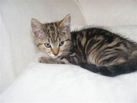 For Cats by Last One Tabby Kitten For Sale Ready Now Wigan
