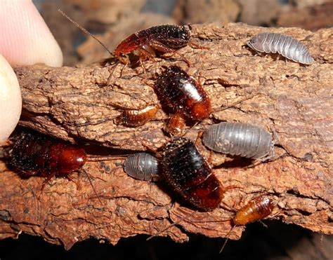 house roaches everything you need to know about wood roaches