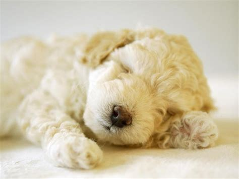 white poodle puppies white poodle puppies wallpaper www pixshark images galleries with a bite