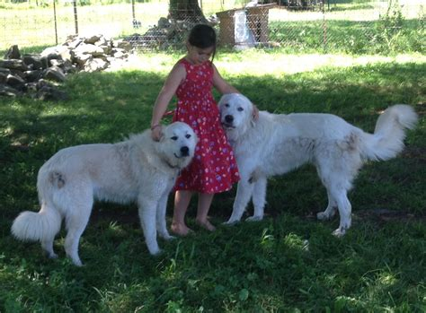 livestock guardian for sale livestock guardian dogs for sale in breed dogs spinningpetsyarn