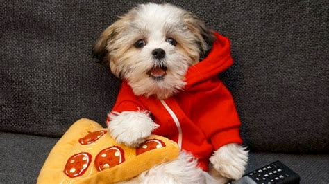 pizza puppy adorable chooses pizza his best friend today