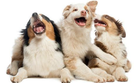 australian shepherd puppy cost the australian shepherd right canine breed for you