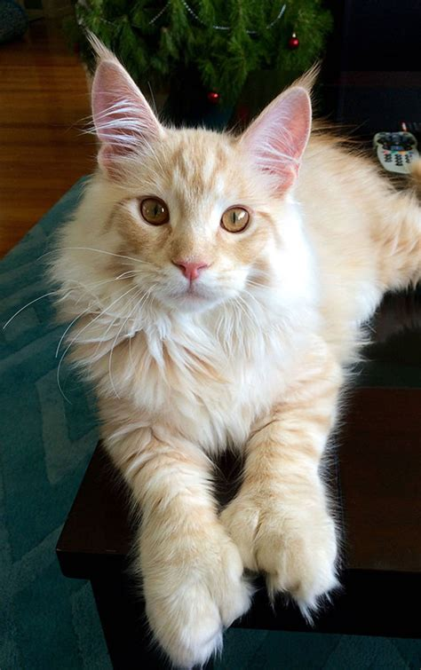 21 Huge Maine Coon Cats That Will Make Your Kitty Look