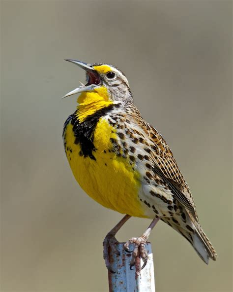 singing with meadowlarks birdnote