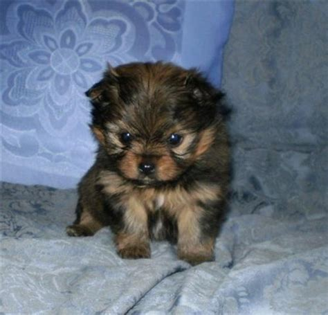 yorkie pomeranian mix puppies pomeranian yorkie mix