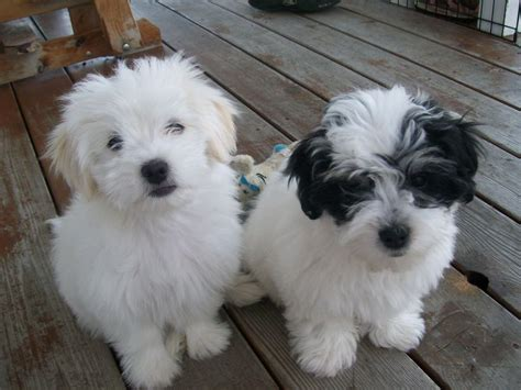 coton de tulear shih tzu mix pin by angela morgane on doggie