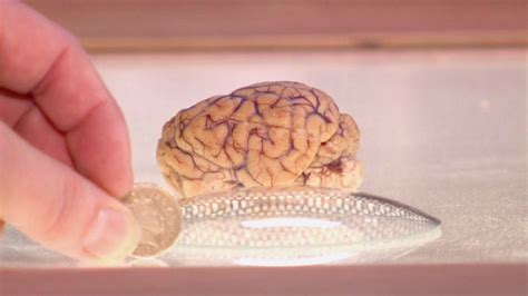 size of brain brain size compared to human www pixshark images galleries with a bite
