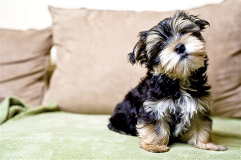 big yorkie breed 100 top 10 small breeds top 10 small breeds to own if you live in a