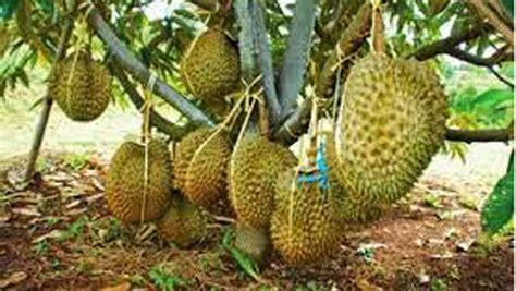 Bibit Durian Musang King Dalam Pot cara menanam bibit durian berbagai macam budidaya