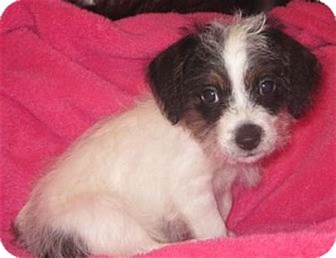 shih tzu rescue houston blossom adopted puppy rescue houston tx shih tzu mix