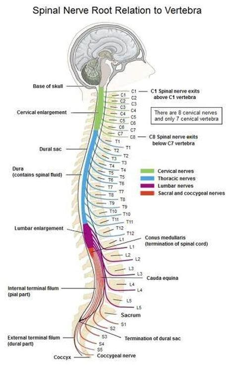 back diagram pictures of cervical spinal nerve