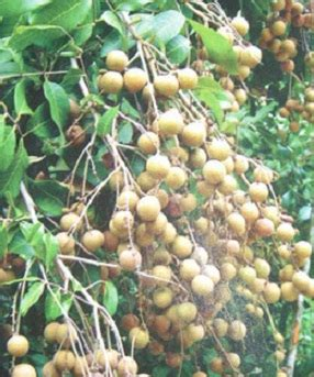 Bibit Kelengkeng Dari Biji tanaman kelengkeng biji lada bibitbunga