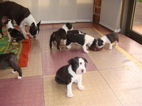 dogs for adoption ta boston terrier sale singapore boston terrier puppies buy buy boston terrier breeders