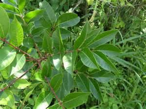 poison sumac