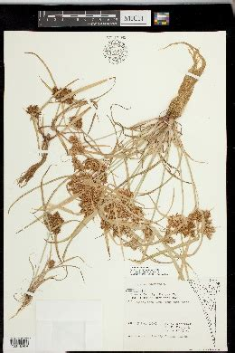 seinet arizona chapter cyperus odoratus