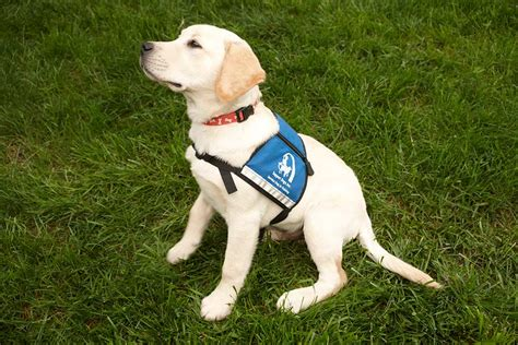 how to get involved with service dogs make a contribution to assist live independent lives