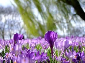 le blume kostenloses foto blumen krokusse krokus fr 252 hling
