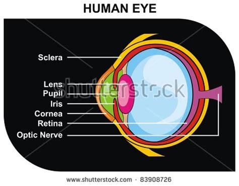 optic nerve stock photos images pictures