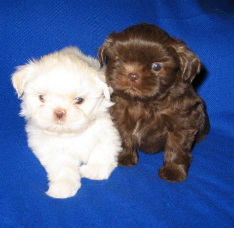 hypoallergenic dogs pomeranian teacup dogs that dont shed breeds picture