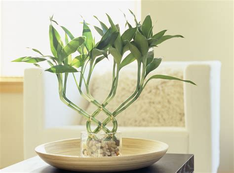 lucky bamboo meaning    good feng shui