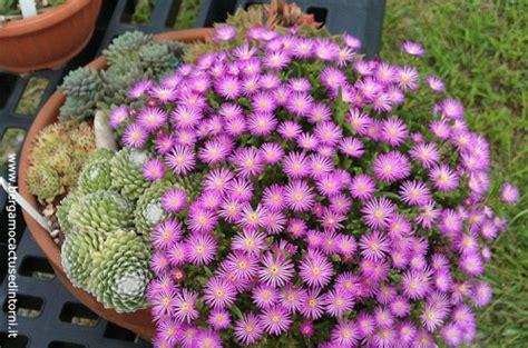 piante in vaso invernali fioriere invernali composizioni di piante grasse da