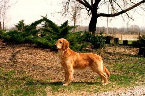 meadowpond golden retrievers wynwood golden retrievers golden puppies breeders hastings michigan