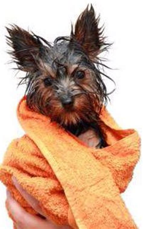 yorkie skin problems yorkie skin problems terrier information center