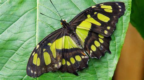 hd wallpaper  lime green malachite butterfly hd