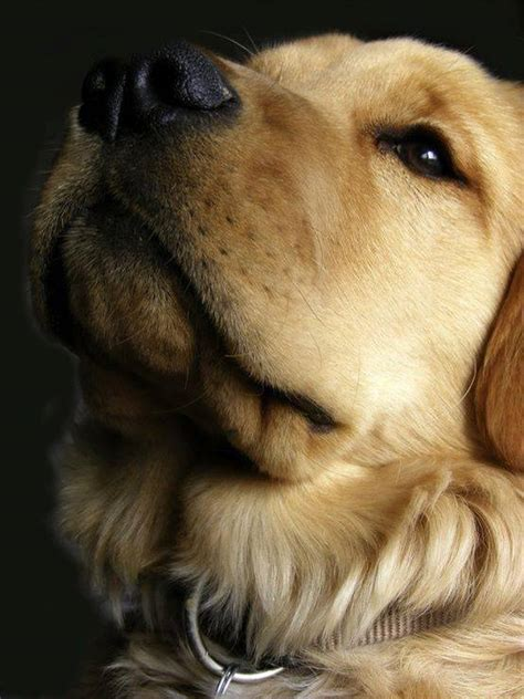 origin of golden retriever golden retriever history many