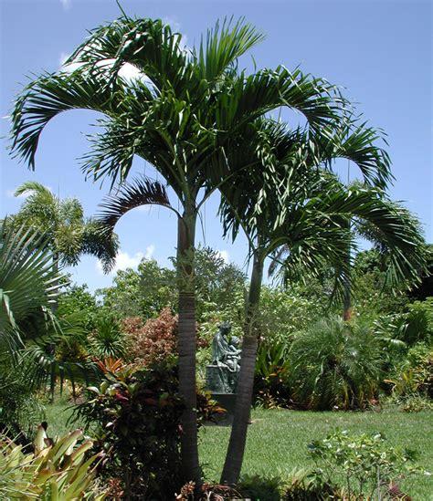 veitchia merrillii christmas palm manila palm adonidia