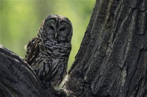 where do barred owls live animals mom me