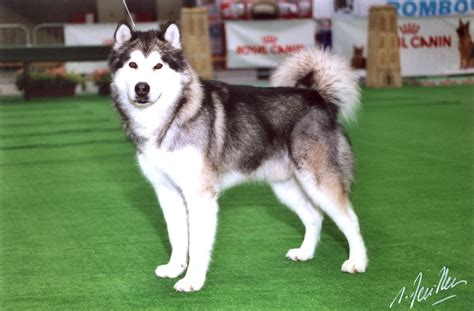 belgium malamute puppy handling results of v working