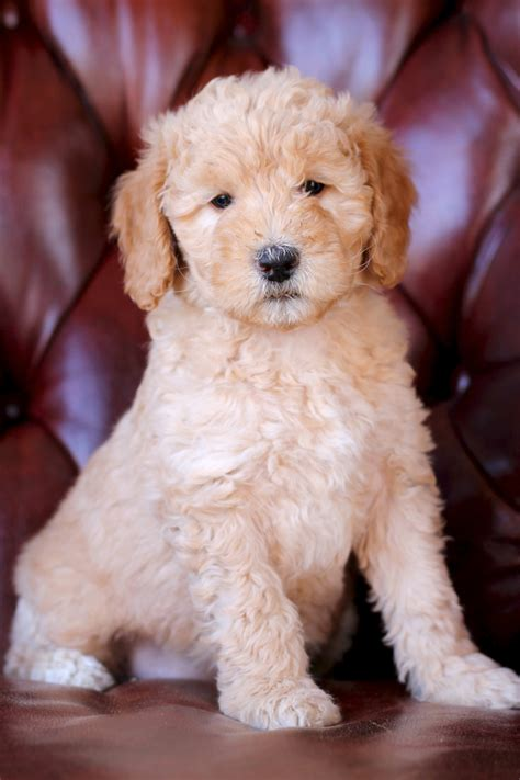goldendoodle puppy coat changes goldendoodle labradoodle puppy pictures