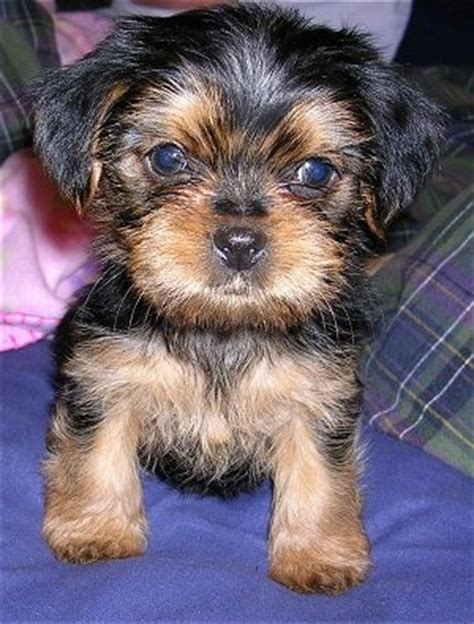 shorkie tzu puppies shorkie tzu breed information and pictures