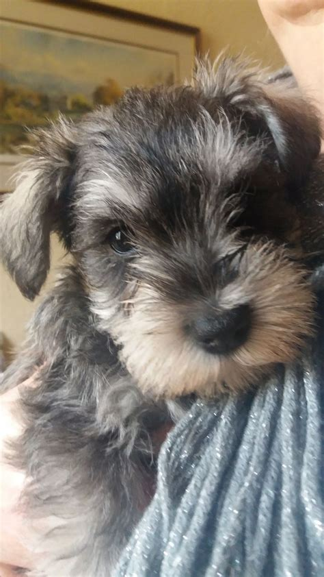 miniature schnauzer puppies for sale in michigan minature schnauzer puppies for sale colne lancashire pets4homes