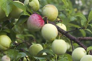 japanese plum tree fruit tips on planting pruning and taking care of japanese