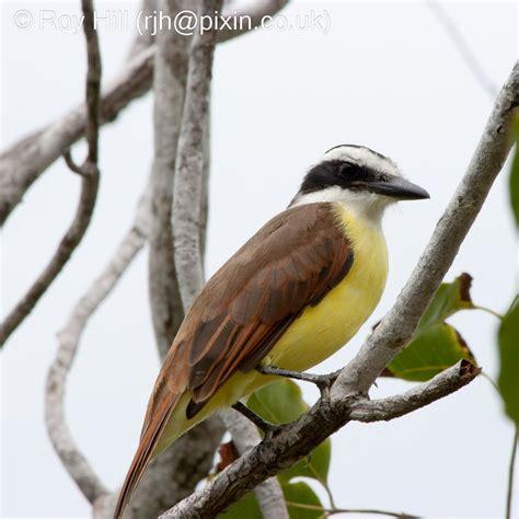 mystery bird great kiskadee pitangus sulphuratus