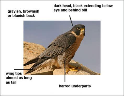 description of the peregrine falcon