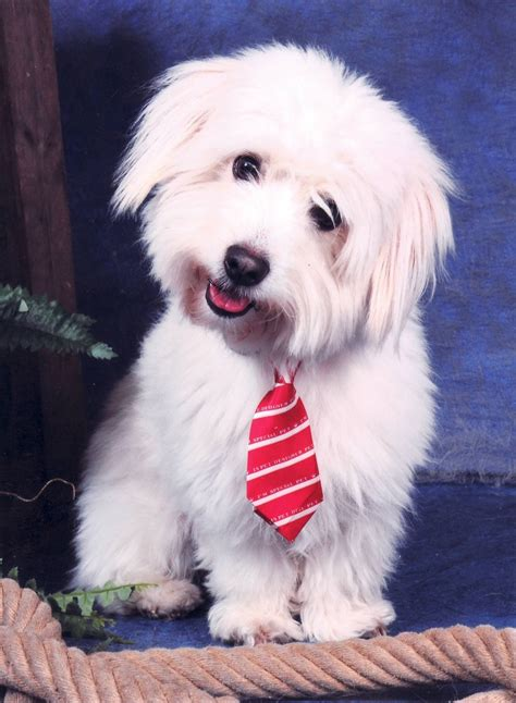 difference between coton de tulear and havanese 25 toppenid 233 er f 246 r coton de tulear p 229