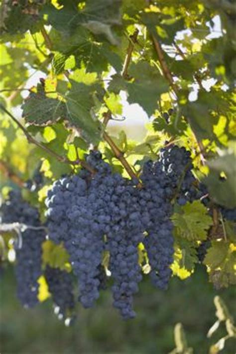 prune  grape vines home guides sf gate