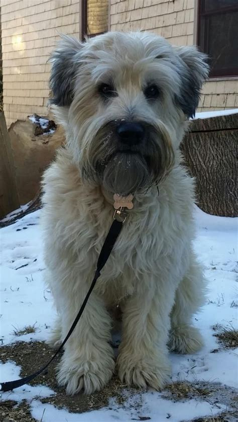 winter airedale haircut 17 best images about animals on pinterest airedale