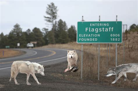 Alpha wolf pack sighted in Flagstaff Newspapers In Flagstaff Arizona