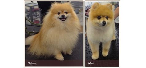 pomeranian before and after pomeranian teddy cut before and after