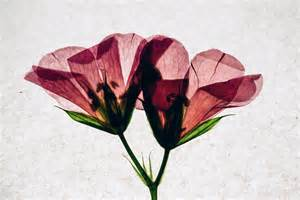 pressed flowers pressed flowers mel torres photography