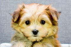 havanese puppies for adoption in louisiana puppies for sale in small breed pups for adoption in dallas houston tx louisiana