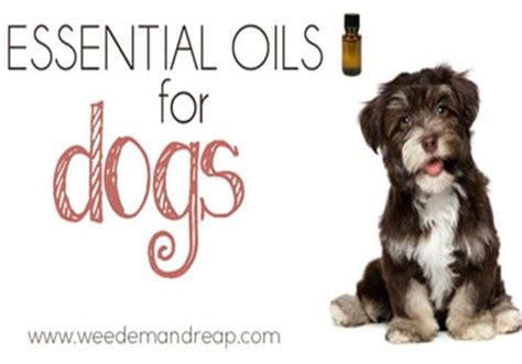 essential oils for dogs essential uses 21 things you should about essential oils homestead survival