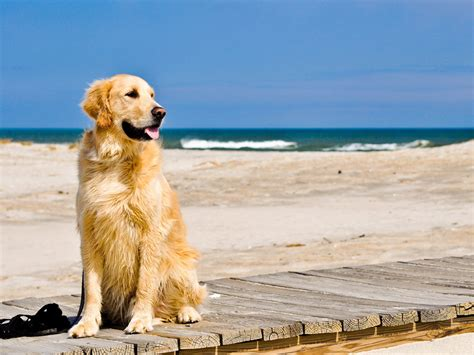 angry golden retriever top 10 breeds for families